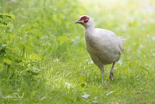 Leucistic Pheasant