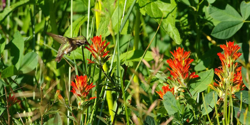 Calliope Hummingbird (Selasphorus calliope) on Scarlet Paintbrush (Castilleja miniata).  Sandia Mountains, New Mexico, USA.