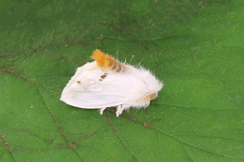 72.013 Yellow-tail - Euproctis similis