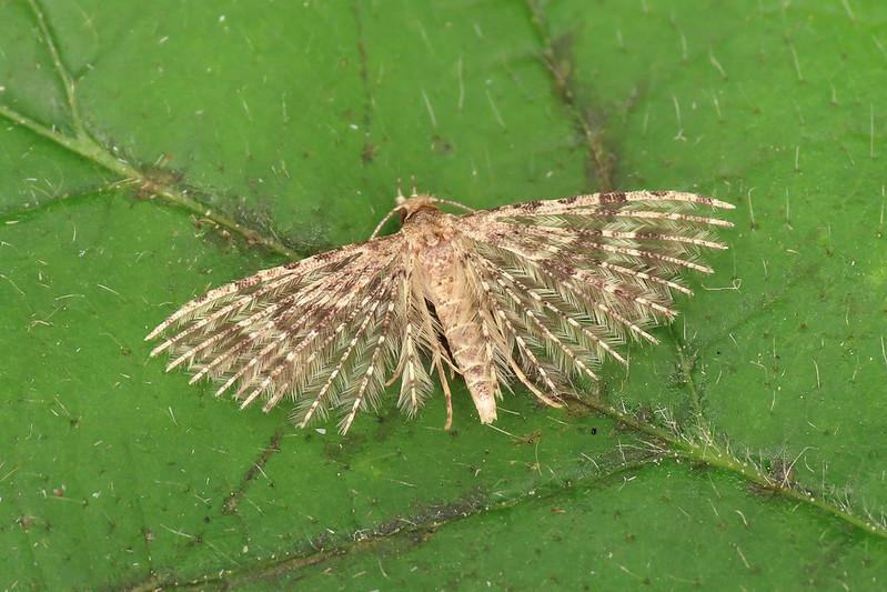 44.001 Twenty-plume Moth - Alucita hexadactyla