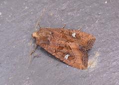 73.119 Crescent - Helotropha leucostigma
