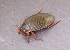 Great Diving Beetle - Dytiscus marginalis