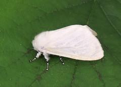 72.009 White Satin Moth - Leucoma salicis