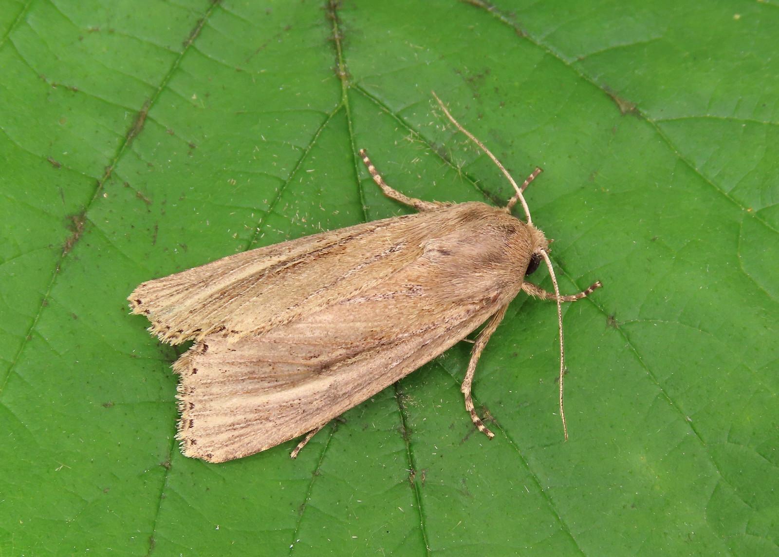 73.136 Bulrush Wainscot - Nonagria typhae