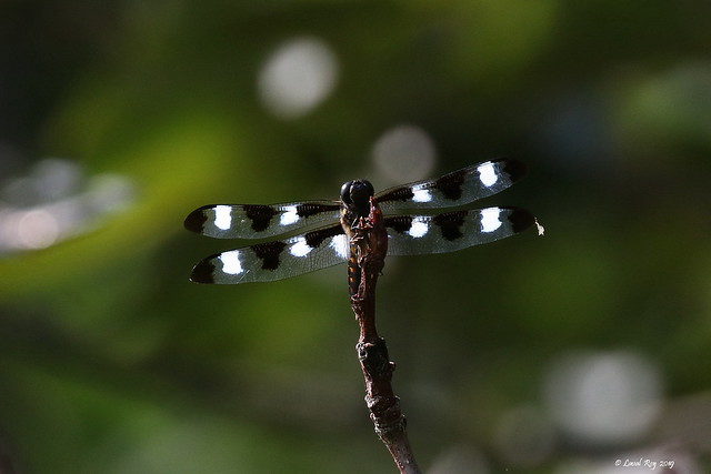 Libellula pulchella / Libellule gracieuse (mâle) / Twelve-spotted Skimmer
