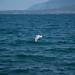 Seagull flies on the beach of Nea Artaki. In Nea Artaki on the island of Euboea on July 12, 2019