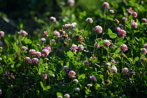 Clover | by Stephen Downes