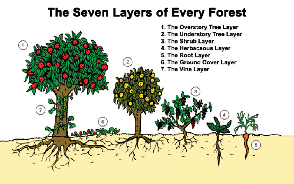 食物森林的七層系統。圖片來源:Permaculture Tip of the Day