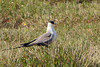 Long-tailed Jaeger, Long-tailed Skua (Stercorarius longicaudus)
