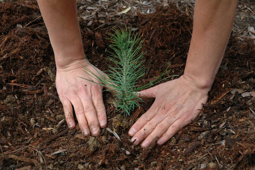 Hedge-Pruning-Collaroy-NSW