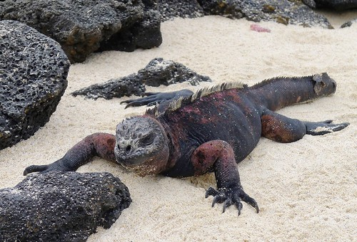 our first marine iguana