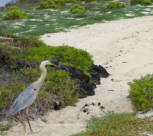 Great Blue Heron patrolling for baby sea turtles