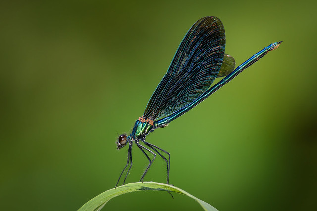 Blauflügel Prachtlibelle (Calopteryx virgo) 8800