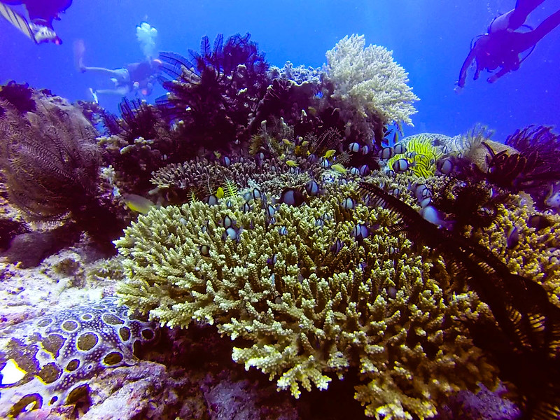Damselfish and staghorn corals