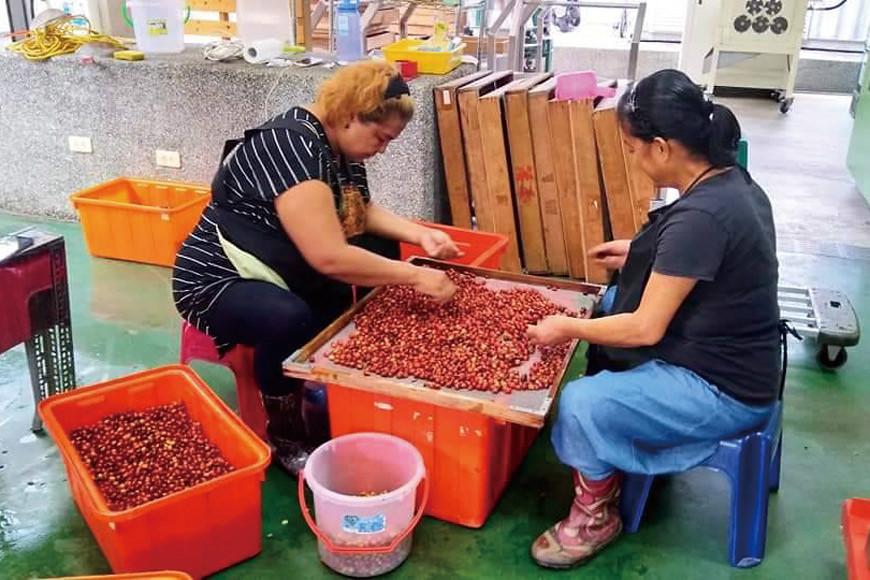 族人採收咖啡後篩選出成熟度佳的果實。(照片提供/泰武咖啡生產合作社)