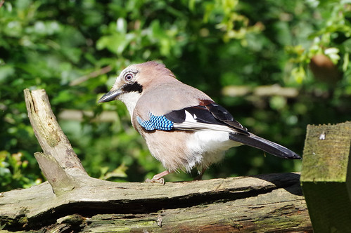 wild bird nature jay wildlife norfolk garrulusglandarius