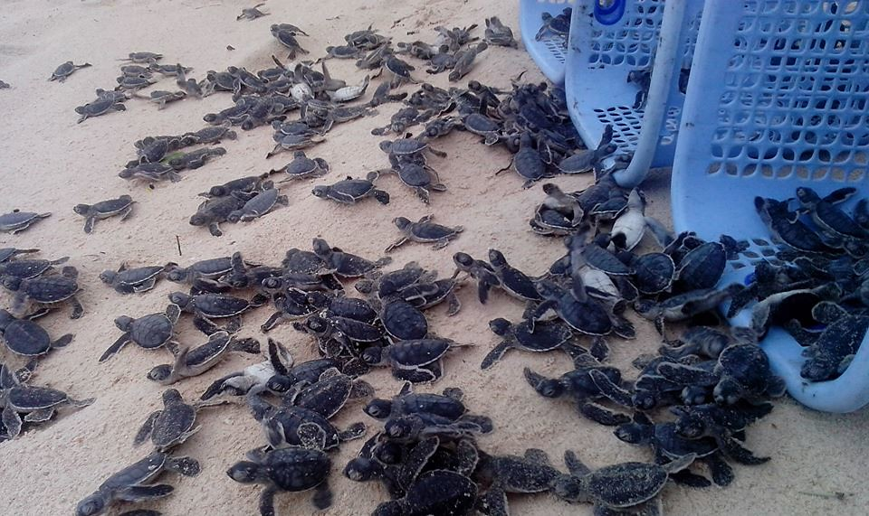 崑崙島國家公園的野放小海龜活動。照片來源:崑崙島國家公園報網