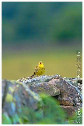 bradgatepark northwestleicester uk nikkor200500mmf56eafsed nikond610fx wildlifephotography birdphotography nikonflickraward naturewatcher yellowhammer rertug ertug