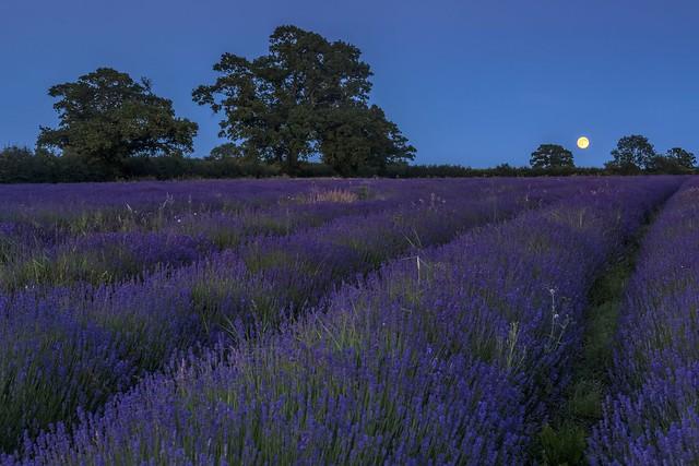 *Somerset Lavender @ blue hour II*