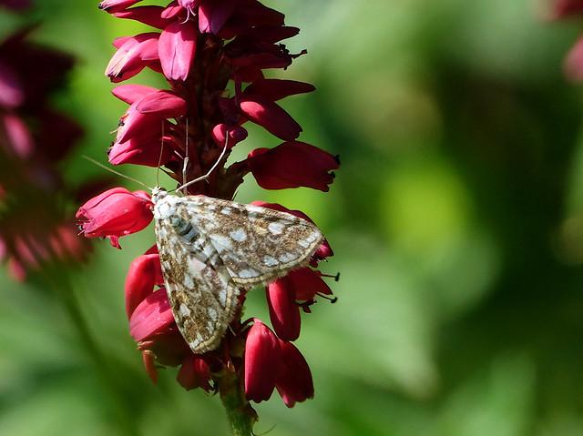 Brown China - mark moth
