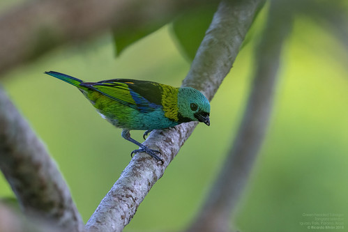 Green-headed Tanager (Tangara seledon) Iguazu Falls, Parana, Brazil 2018