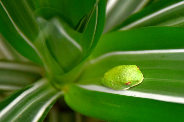 Psst! - Tiny red eyed tree frog is sleeping!