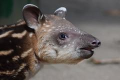 South American tapir @ Artis 05-08-2018