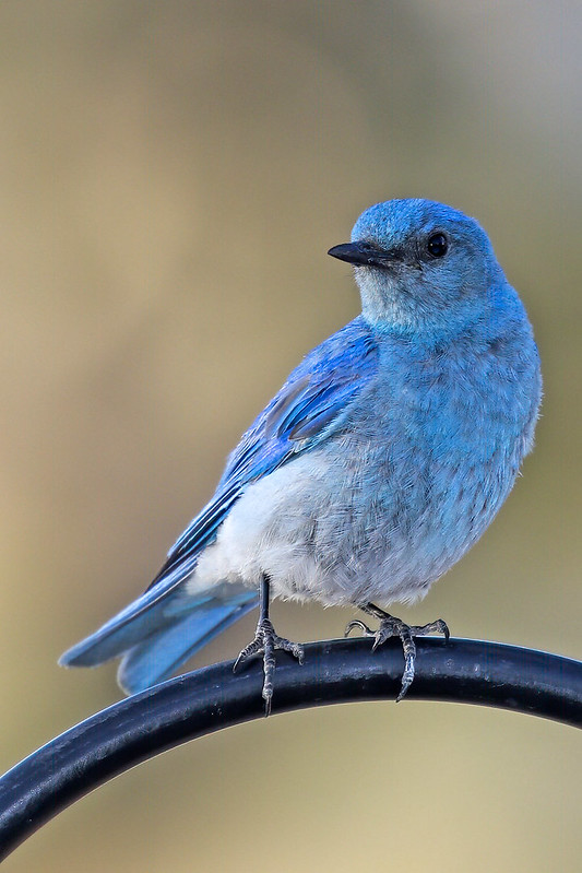 Mountain-Bluebird-1-7D2-062719