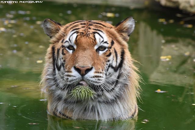 Siberian tiger - Zoo Amneville