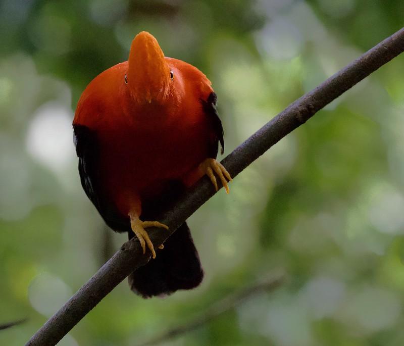 Andean Cock-of-the-rocks_Rupicola peruviana_Colombia_Ascanio_ 199A7275