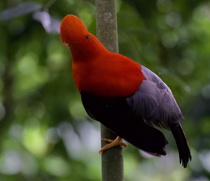 Andean Cock-of-the-rocks_Rupicola peruviana_Colombia_Ascanio_ 199A7262