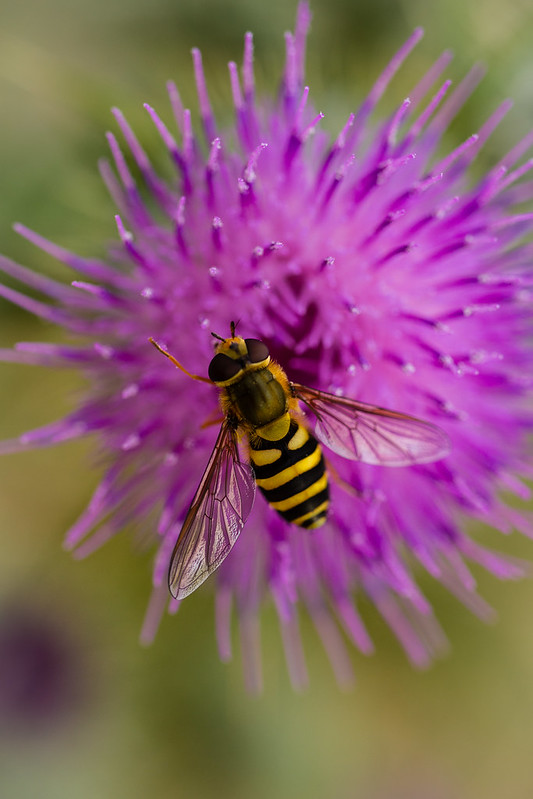 hoverfly ? on thistle