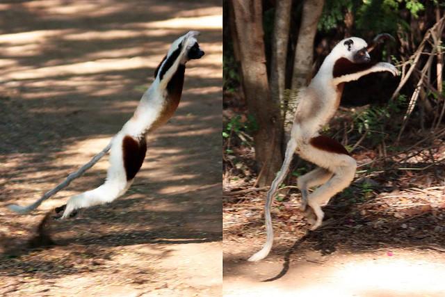 Coquerel's_sifaka_lemur_(Propithecus_coquereli)_terrestrial_locomotion