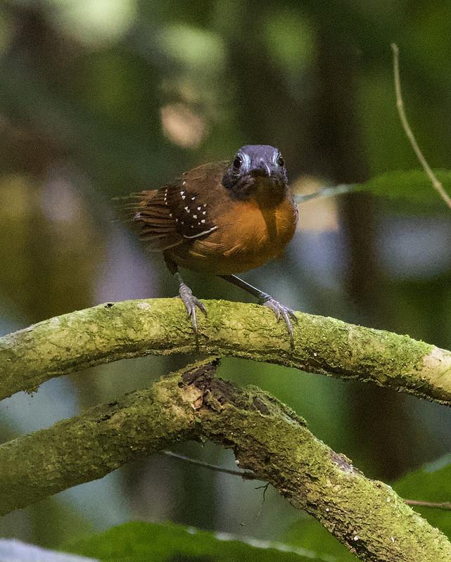 Chestnut-backed Antbird_Poliocrania exsul_Colombia_Ascanio_199A6548