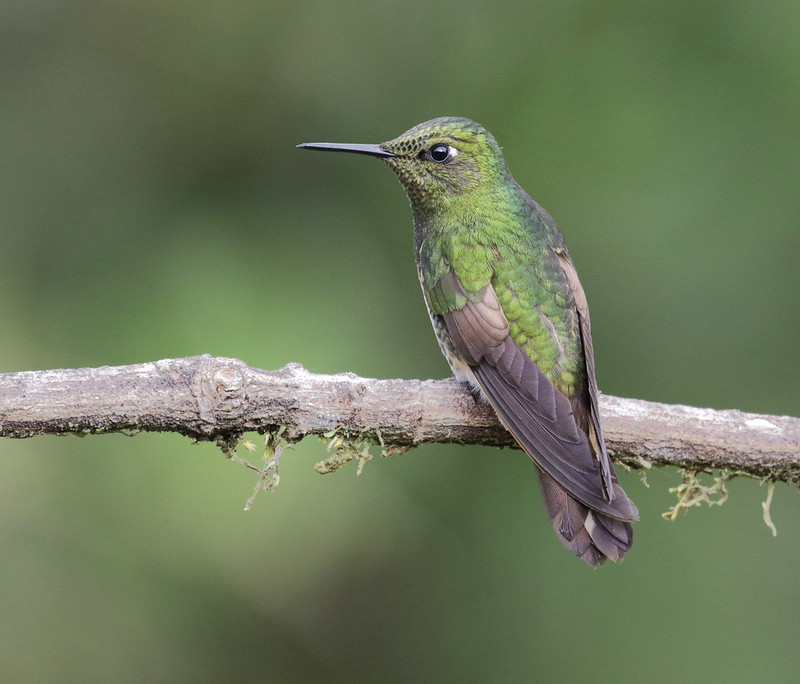 Buff-tailed Coronet_Boissonneaua flavescens_Ascanio_Colombia_199A7623