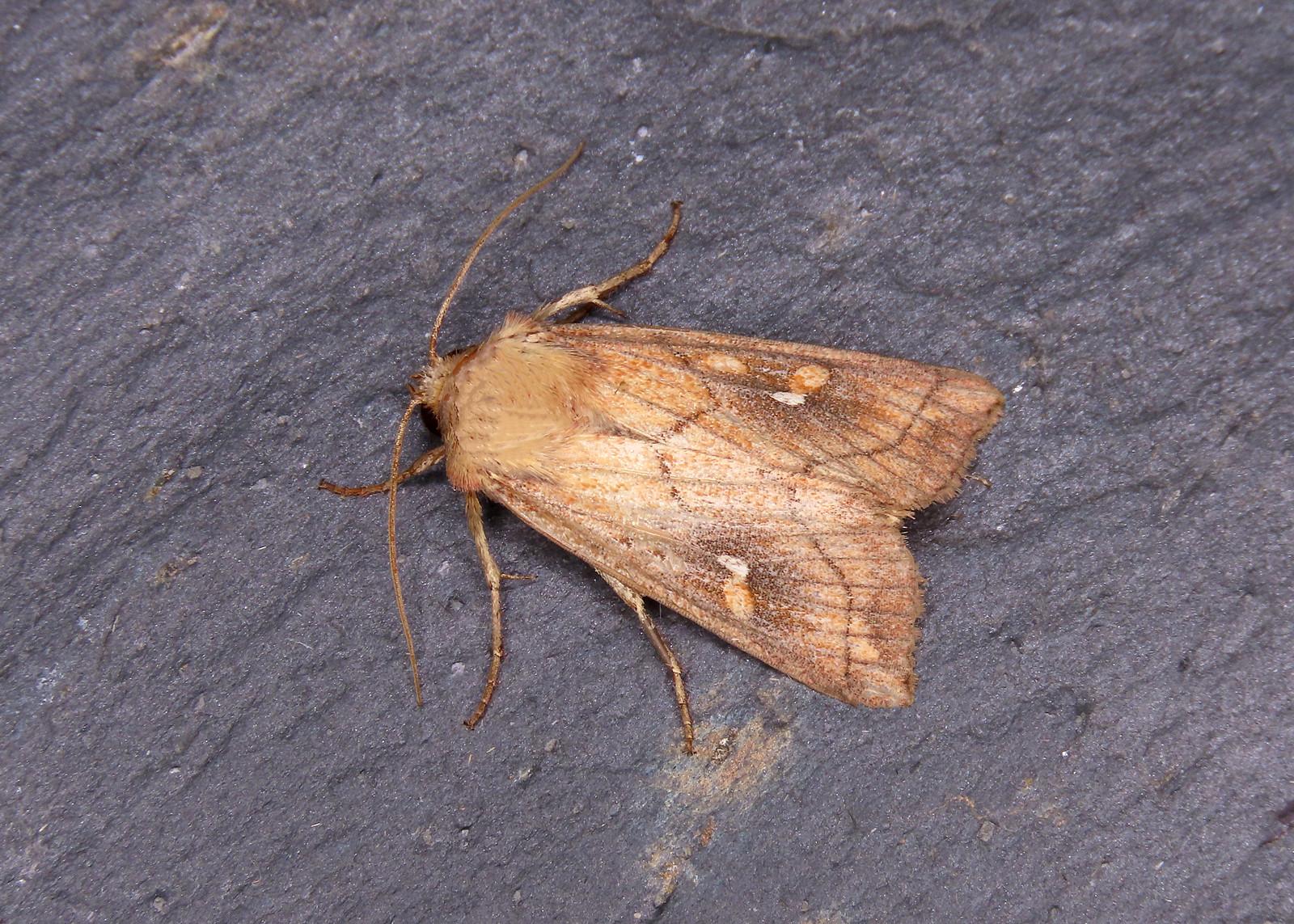 73.290 Brown-line Bright-eye - Mythimna conigera