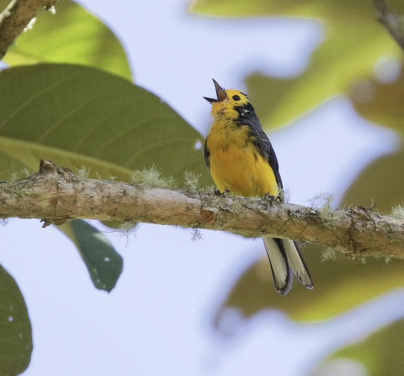 Golden-fronted Redstart_Myioborus ornatus_Colombia_Ascanio_199A7907
