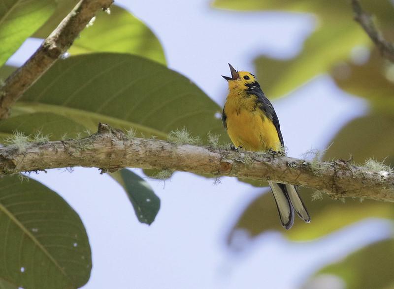 Golden-fronted Redstart_Myioborus ornatus_Colombia_Ascanio_ 199A7908
