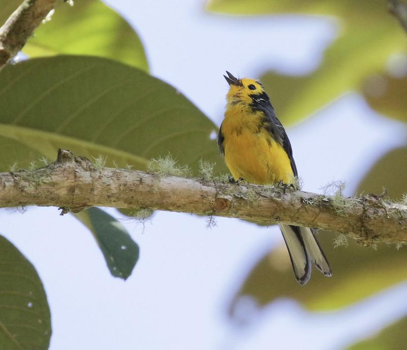 Golden-fronted Redstart_Myioborus ornatus_Colombia_Ascanio_ 199A7906