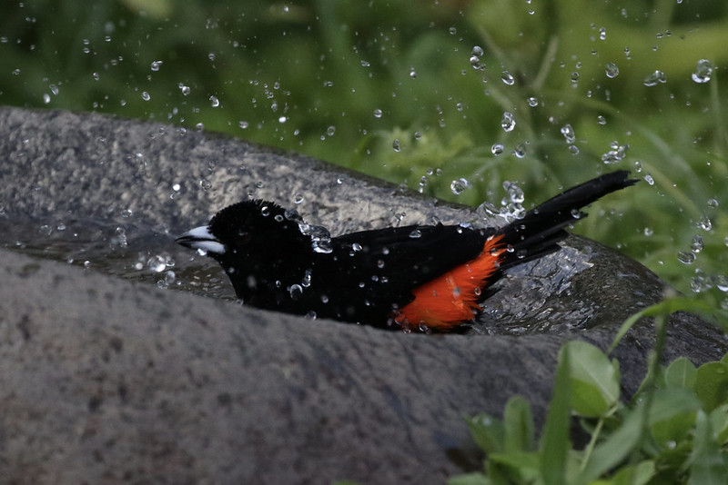 Flame-rumped Tanager_Ramphocelus flammigerus_Ascanio_Colombia_2_199A8266