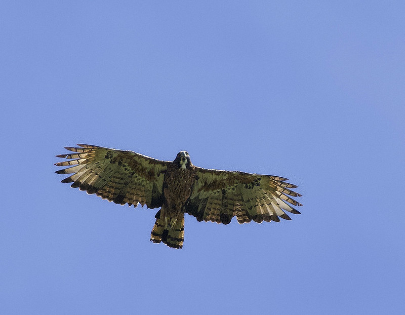 Black-and-chestnut Eagle_Spizaetus isidori_Colombia_Ascanio_ 199A7932