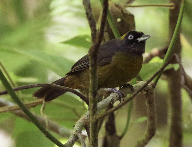 Dusky-faced Tanager_Mitrospingus cassinii_Ascanio_Colombia_199A6565