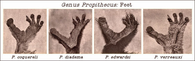 Genus_Propithecus_Feet