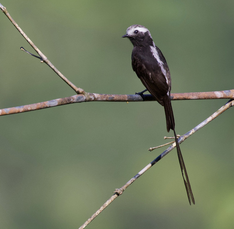 Long-tailed Tyrant_Colonia colonus_Ascanio_Colombia_ 199A6882