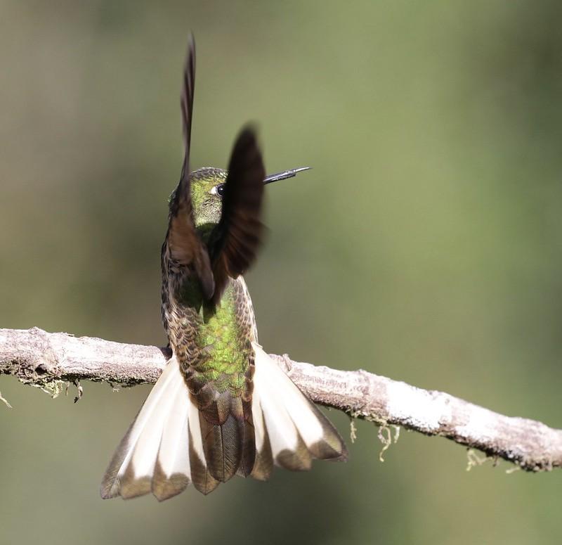 Buff-tailed Coronet_Boissonneaua flavescens_Ascanio_Colombia_ 199A7800
