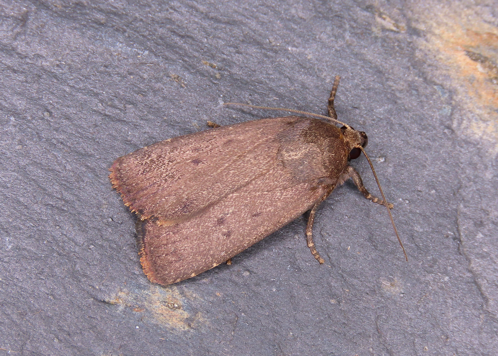73.064 Mouse Moth - Amphipyra tragopoginis