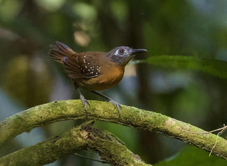 Chestnut-backed Antbird_Poliocrania exsul_Colombia_Ascanio_ 199A6547