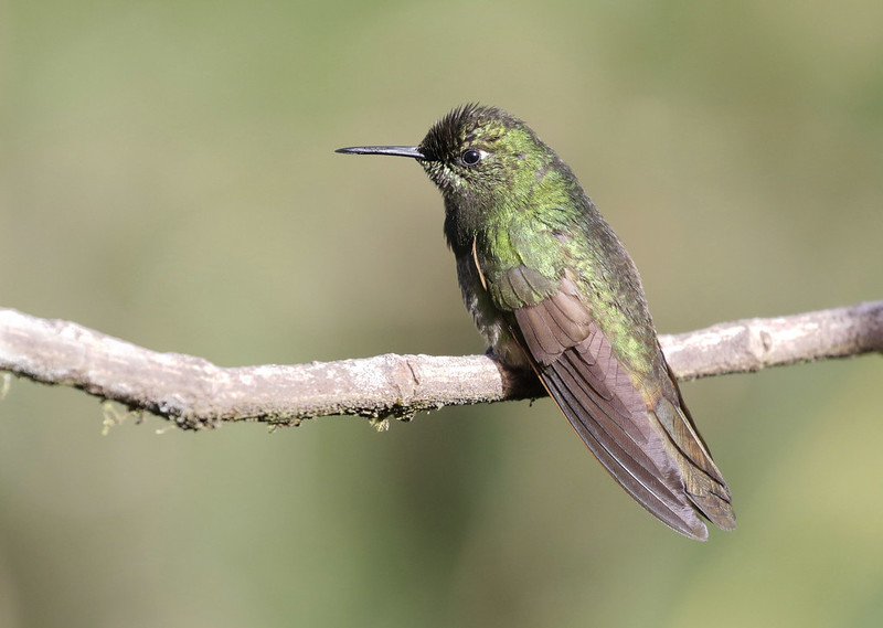Buff-tailed Coronet_Boissonneaua flavescens_Ascanio_Colombia_ 199A7744