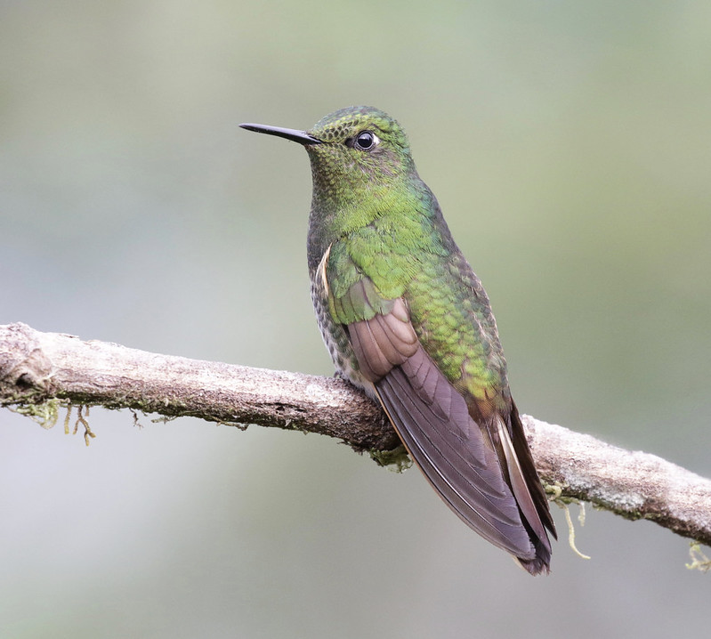 Buff-tailed Coronet_Boissonneaua flavescens_Ascanio_Colombia_ 199A7678