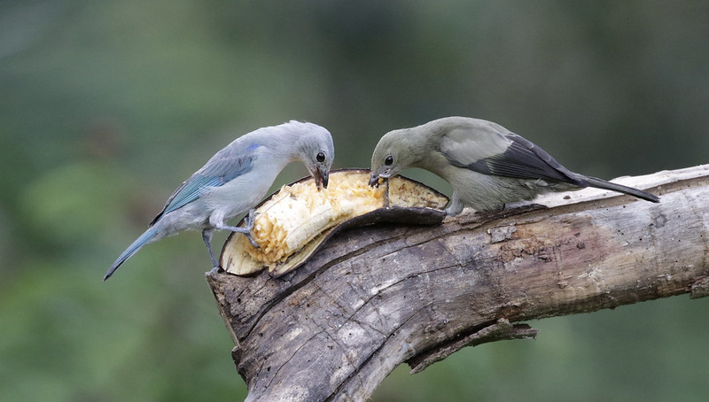 Blue-gray Tanager & Palm Tanager_Ascanio_Colombia_1_199A8293